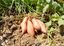 Mississippi's 2012 sweet potato crop should be slightly above average. These Beauregard sweet potatoes grew at White and Allen Farms in Calhoun County. (Photo by Mississippi Sweet Potato Council/Benny Graves)