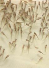 These 2012 catfish fry at the Mississippi State University College of Veterinary Medicine are similar to young fish that have been delayed by this spring's cool temperatures, which have slowed growth of Mississippi's farm-raised catfish and delayed the start of hatchery season. (Photo by MSU Ag Communications/Kat Lawrence)