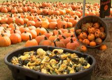 Country Pumpkins in Caledonia, Miss., has more than 80 varieties of pumpkins, squash and gourds after one of the best growing seasons in decades. The Lowndes County farm is one of a growing number of agritourism sites in the state. (Photo by MSU Ag Communications/Tim Allison)