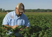 Darrin Dodds, cotton specialist with the Mississippi State University Extension Service, examines cotton in the field at the MSU R.R. Foil Plant Science Research Center in Starkville, Mississippi, on Aug. 26, 2014. (Photo by MSU Ag Communications/Kevin Hudson)