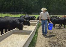 Cody Glenn, Mississippi State University beef unit manager, feeds calves at the H.H. Leveck Animal Research Center in Starkville July 8, 2015. Recent cattle prices have been at record levels, causing producers to increase the size of their herds. (Photo by MSU Ag Communications/Kevin Hudson)ltural and Forestry Experiment Station/Richard Turner)