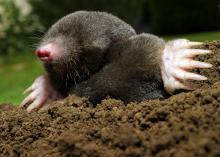 Moles spend 90 percent of their lives underground. They are known for their hairless snouts and large, paddle-like claws. (Photo by iStockphoto)