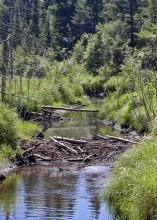 Beaver activity, such as this dam, can significantly alter the surrounding habitat, for the worse or for the better. (Photo from iStock)