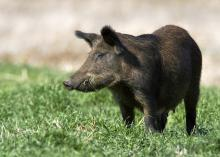 Wild hogs reproduce quickly, have few natural predators and can cause damage and spread disease, making them more than a mere nuisance to humans. (Photo by iStock)