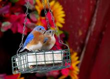 Eastern bluebirds will benefit from suet, a high-fat, high-calorie treat, in the winter months. (Photo by Jeanne Creech)