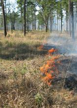 Contrary to what many people think, a prescribed, controlled burn performed by a registered professional actually improves habitat quality for many of Mississippi's wildlife species. (MSU Ag Communications/File Photo)