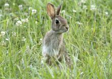 Eastern cottontail rabbits are common in urban, suburban and rural areas where abundant food and shelter are available. (Photo by iStock)
