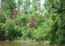 The redbay ambrosia beetle is responsible for the death of one-third of the nation's redbay trees to date. Dead redbay trees can be seen in this 2010 photograph taken along the Pascagoula River in Jackson County near Moss Point, Mississippi. (Photo by Mississippi Agricultural and Forestry Experiment Station/John Riggins)
