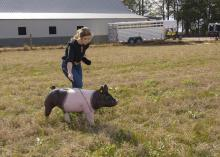 A young woman walks a pig through a pasture.