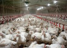 Scores of chickens are seen inside a poultry house.
