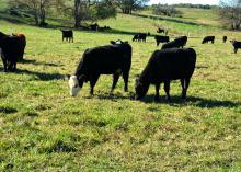 Two beef cattle grazing in a green pasture.