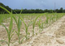 Grain sorghum emerges in this Oktibbeha County field June 14, 2017. Mississippi growers are projected to plant 10,000 acres of the crop this year, which would be a record low. (Photo by MSU Extension Service/Kevin Hudson)