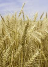 Mississippi growers harvested just 40,000 acres of wheat in 2017 -- well below the average of about 200,000 acres -- but they saw good yields despite a challenging growing season. (Photo by MSU Extension Service/Kevin Hudson)