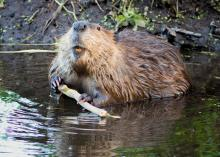 Some landowners view beavers as costly nuisances because their dams can flood agricultural fields and forests. However, these ecosystem engineers create ponds that are ultimately beneficial to the overall ecology of an area, including wildlife populations. (Submitted photo)