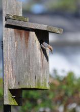 Brown-headed nuthatch inspecting a recently cleaned-out nest box in a backyard in Clinton, Mississippi. (Photo by MSU Extension Service/Adam T. Rohnke).