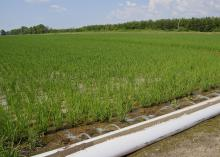 Computerized hole selection provides furrow irrigation of rice with water from a tailwater recovery system in the Mississippi Delta. (MSU Extension Service file photo)