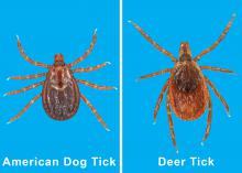 The deer tick and the American dog tick, shown here, are two of the five most common tick species found in Mississippi. The state is home to about 19 tick species. (File photos by MSU Extension Service/Blake Layton)