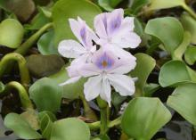 Water hyacinths produce lovely blooms on Mississippi water surfaces during the summer, but this aggressive and invasive plant blocks light, stops photosynthesis for the plants growing below the surface and eliminates oxygen in the water. Freezing temperatures will kill plants, causing additional water quality problems. (Photo by MSU Extension Service/ J. Wesley Neal)