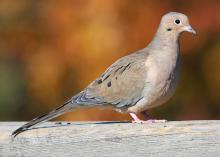 Healthy mourning dove populations allow opportunities for recreational hunting. Habitat establishments begin in the spring by planting small fields with a variety of grains such as sorghum, browntop millet and sunflowers. (Submitted photo)