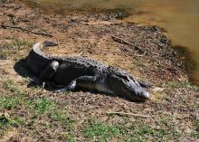 A large alligator rests on the shoreline beside water on a sunny day.