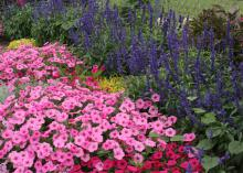 Vista Bubblegum supertunias can be mass planted to create a pink ground cover. The light pink of Bubblegum supertunias blend well with Vista Fuchsia supertunias and Color Spires salvia. (Photo by MSU Extension/Gary Bachman)