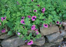 The flowers on the Supertunia Pretty Much Picasso are unique, with fuchsia petals and lime-green edges that seem to blend into the foliage. (Photo by MSU Extension/Gary Bachman)