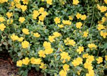 Purslane is a low-growing, succulent-looking annual that makes a good ground cover. Selections such as these Pazazz Jumbo Yellow purslanes like full sun and thrive in hot Mississippi summers. (Photo by MSU Extension/Gary Bachman)