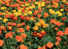 French marigolds are smaller but have more flower variety than American marigolds. (Photo by MSU Extension Service/Gary Bachman)