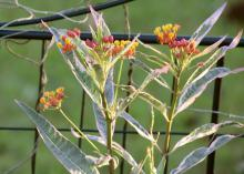 Monarch Promise is a fun new selection of tropical milkweed that is very attractive to Monarchs and is pretty in the garden. Its foliage colors are enhanced when grown in full sun. (Photo by MSU Extension/Gary Bachman)
