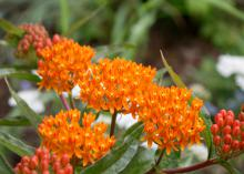 Butterfly weed is one of the best butterfly-attracting plants for the home. The native Asclepias tuberosa grows well across the state and has superior garden and landscape performance. (Photo by MSU Extension/Gary Bachman)