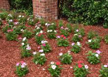 Annual flowering vincas are excellent landscape choices as they are solid performers for providing hot summer color. (Photo by MSU Extension/Gary Bachman)