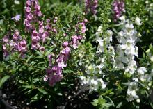 A member of the snapdragon family, the Serena Angelonia will grow to 1 foot tall and spread up to 14 inches. (Photo by MSU Extension Service/Gary Bachman)