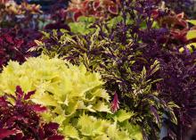 Sun coleus are low-maintenance, high-impact plants that perform beautifully in full-sun areas of Mississippi landscapes and gardens. (Photo by MSU Extension/Gary Bachman)