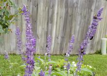 Rockin' Playin' the Blues has richly colored foliage and flowers that bloom until the first hard frost. Bumblebees are huge fans of this annual salvia. (Photo by MSU Extension/Gary Bachman)