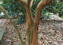 As crape myrtles mature, their bark begins to exfoliate, revealing inner bark colors ranging from gray-green to dark cinnamon-red. (Photo by MSU Extension/Gary Bachman)