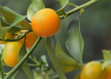 Kumquats produce fruit in astonishing numbers, but due to their small size, their weight does not threaten even small trees. They are perhaps the most cold tolerant of the citruses. (Photo by MSU Extension/Gary Bachman)