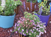 Container gardening makes irrigation, weeding and fertilizing a breeze, while offering beauty that can be moved around for variety and weather protection. (Photo by MSU Extension/Gary Bachman)