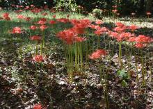 A group of pink/red red flowers, lycorises, commonly called naked ladies, surprise or spider lilies.