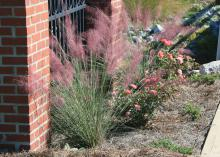 Gulf Muhly grass has spiky, upright leaves through the summer and a grand flourish in the fall. Its billowing masses of flowers resemble pink clouds in the landscape.
