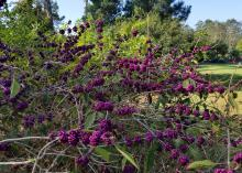 American beautyberry comes in a variety of berry colors, such as this Bonner Creek, which has dark-burgundy berries the color of a fine merlot.