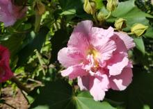 Confederate rose is an heirloom plant that blooms prolifically in late summer and fall.