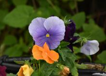 Two pansies are pictured, one a solid light purple and the other a solid orange.