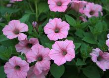 Pinkish-purple blooms cover a lush green plant.