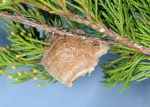 A light brown mass of eggs hangs on the underside of a small cedar branch.