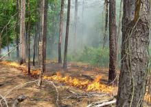 Ring of fire from a planned burn surrounds pine trees in a forest.