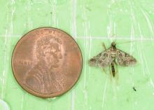 A tiny brown moth sits beside a penny for scale.