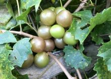 Muscadines of various shades are bunched on the vine.