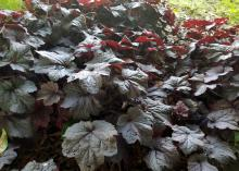Dark red, almost black leaves clump together.