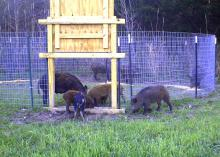 Several brown and multicolored adult and young hogs sniff the ground inside and outside a round wire pen with a wooden door suspended over the opening.