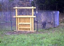 A sturdy wooden door is closed in the side of a wire corral containing three wild hogs.